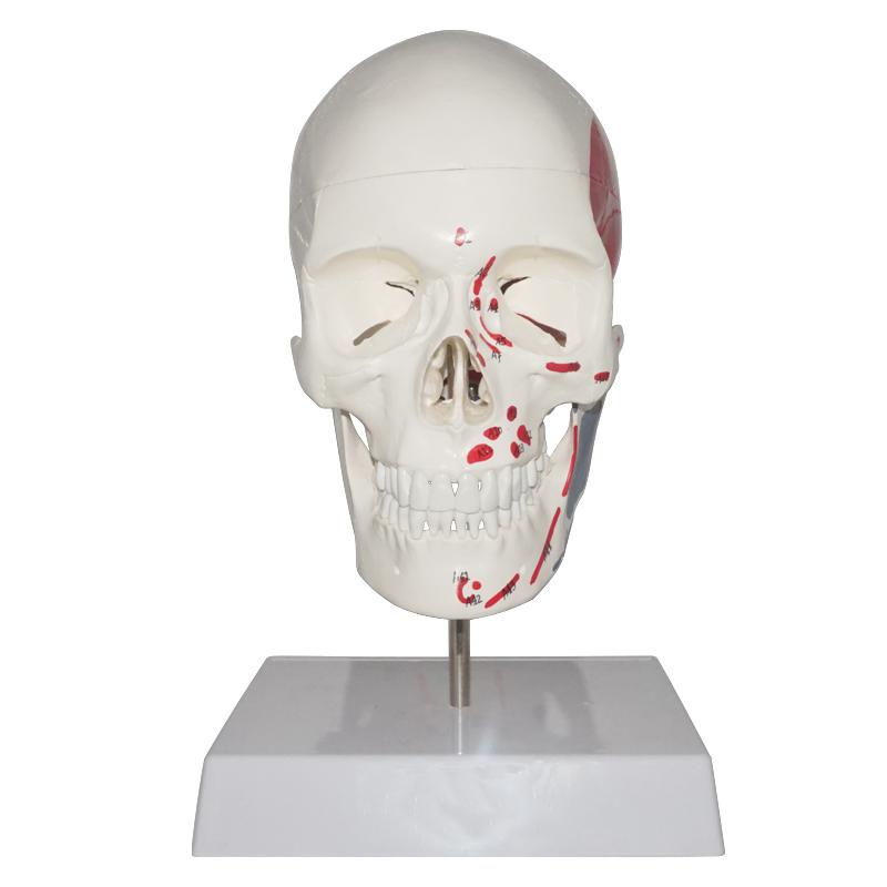 3 Parts Human Painted Skull Model