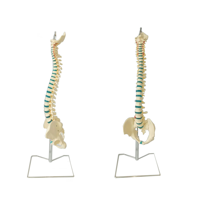 Plastic Human Spine Model