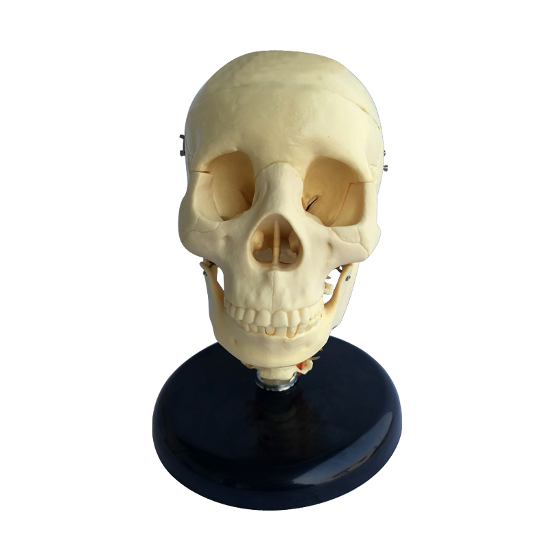 Anatomical Medical Science Skull Model With Cervical Spine
