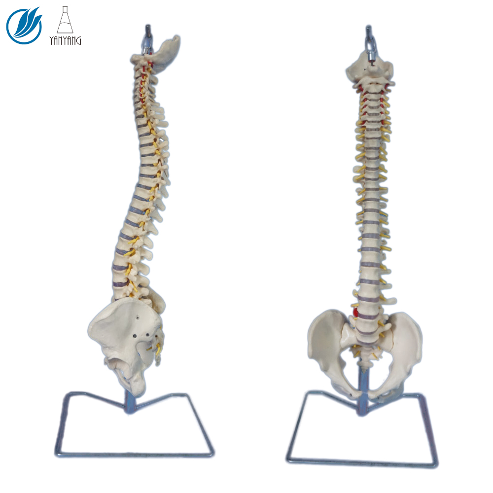 Artificial Medical Anatomical Spine Model