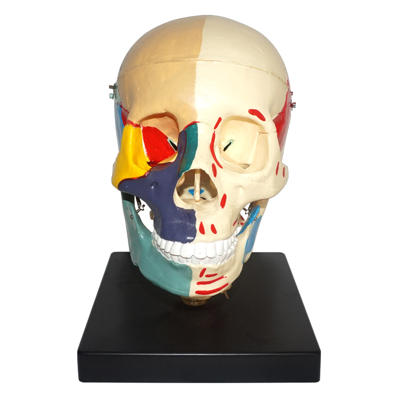 Colored Life-Size Plastic Skull Model