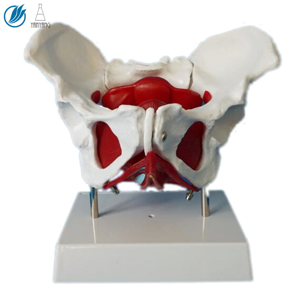 Anatomical Model Female Pelvis with Removable Organs
