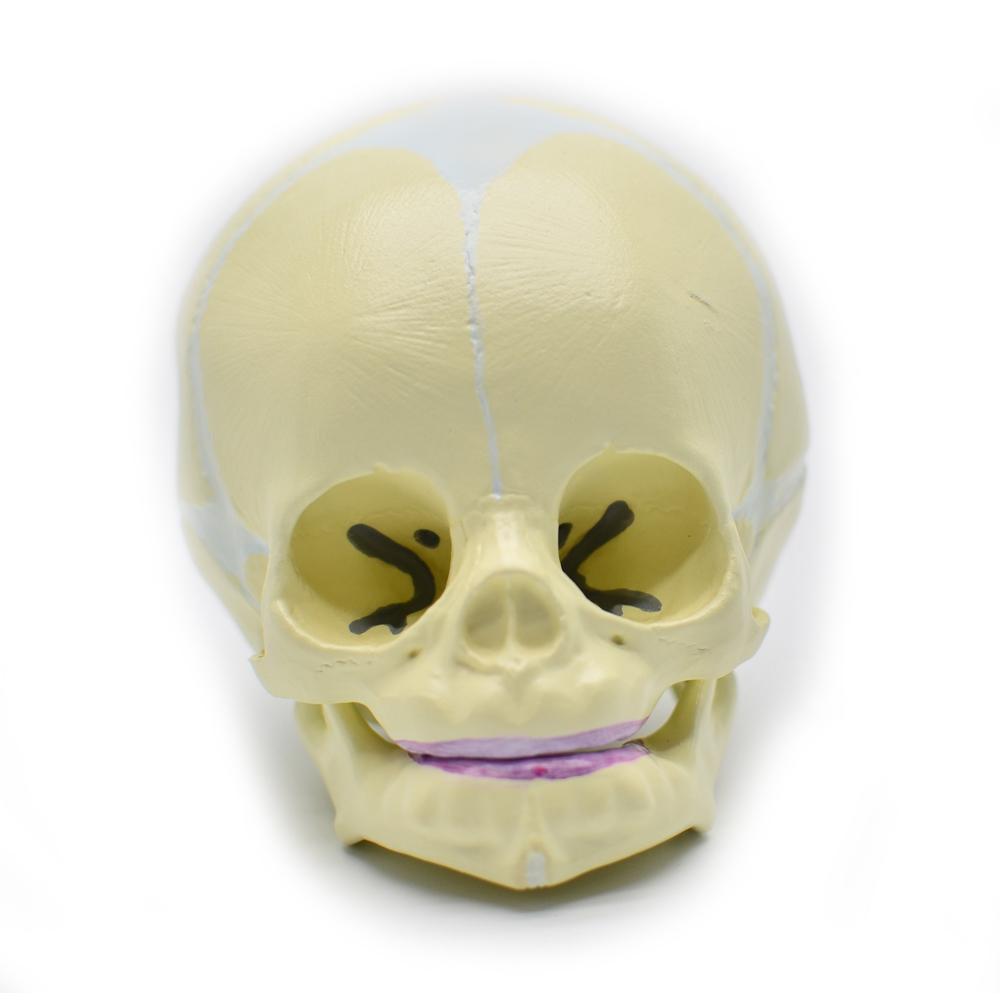 Fetal Skull Model, Baby Skull Model