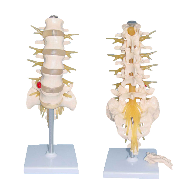 Human Lumbosacral Vertebrae and Nerves Skeletal Anatomy Structure Model