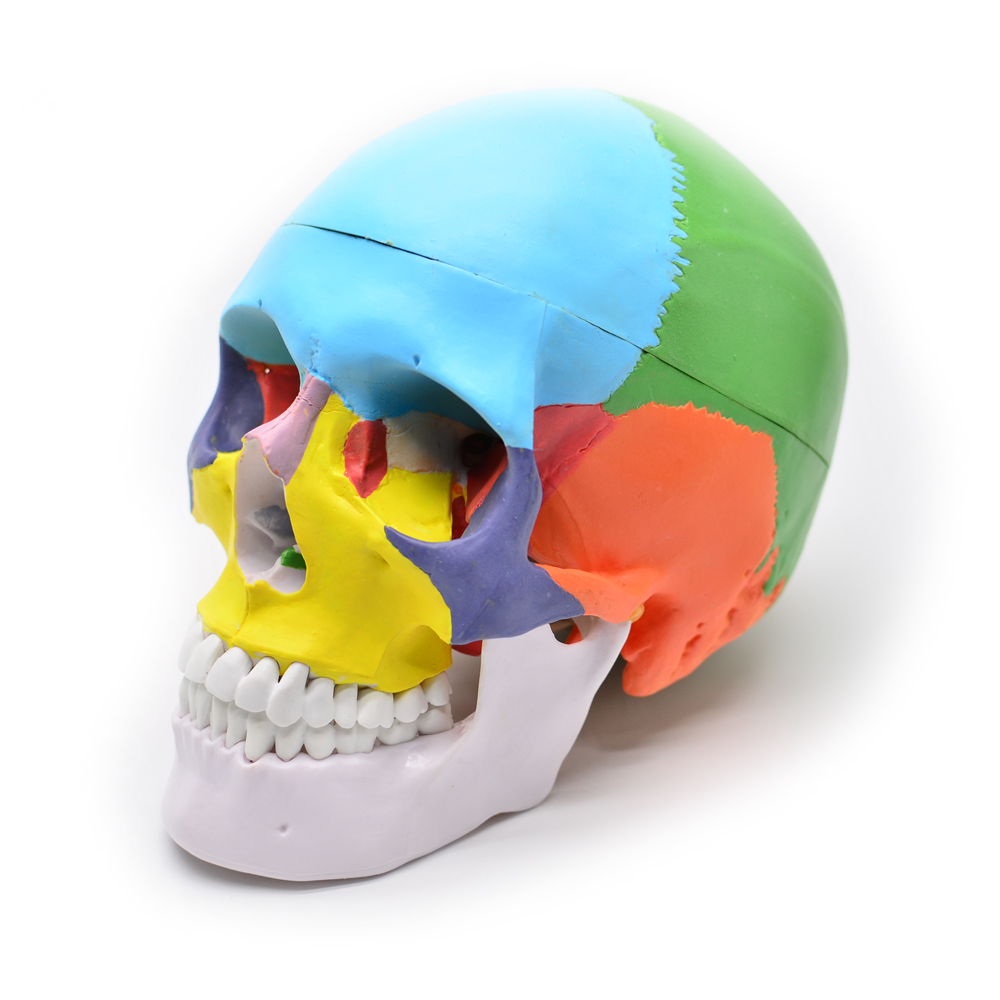 Human Structure Life-Size Skull Model