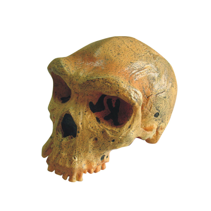 Model Of Broken Hill or Kabwe Anthropological Skull Model