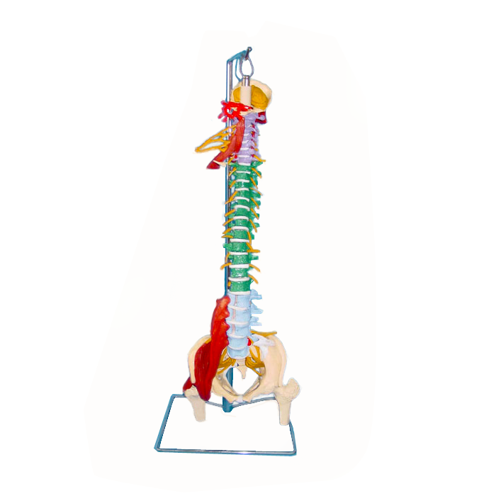 Flexible Plastic Human Spine Vertebrae Model